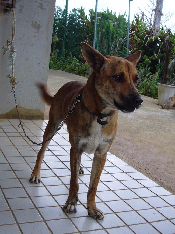 琉球犬 イセタン 弟