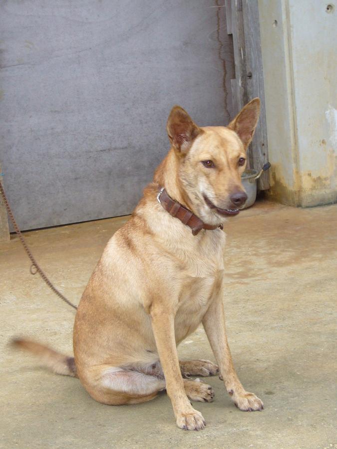 琉球犬 ゴンママ