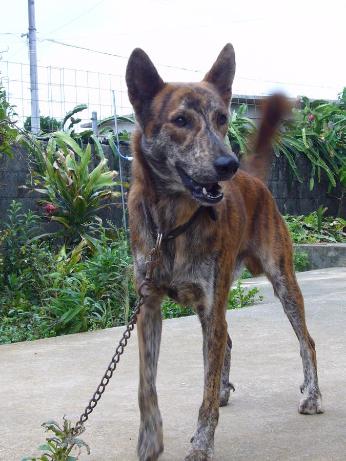 琉球犬 ドラパパ