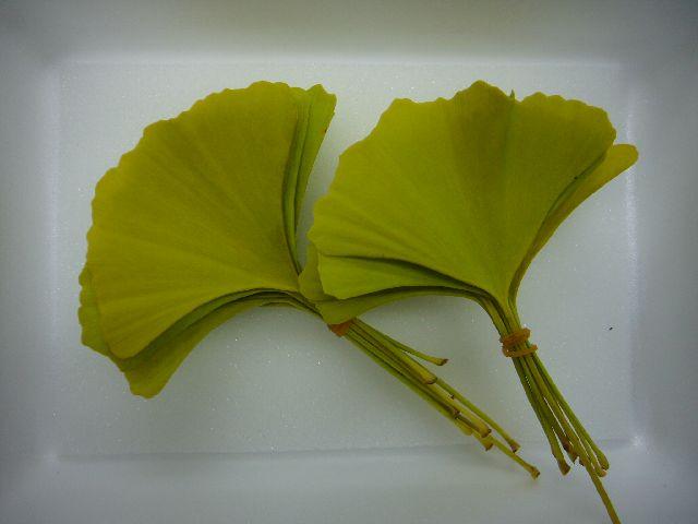 黄イチョウ