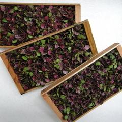紫芽(ムラ芽)